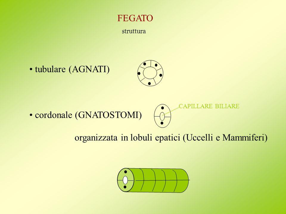 FEGATO struttura tubulare (AGNATI) cordonale (GNATOSTOMI) organizzata in lobuli epatici (Uccelli e Mammiferi) CAPILLARE BILIARE