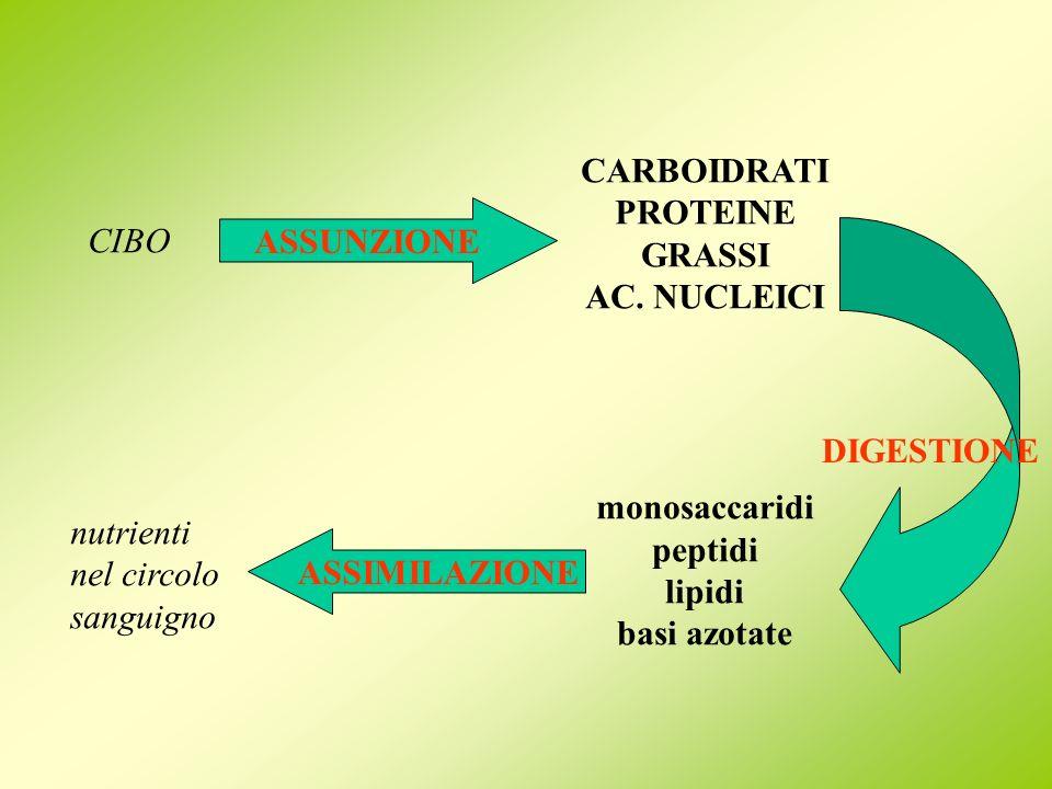 DIGESTIONE CARBOIDRATI PROTEINE GRASSI AC. NUCLEICI monosaccaridi peptidi lipidi basi azotate CIBO ASSUNZIONE ASSIMILAZIONE nutrienti nel circolo sang