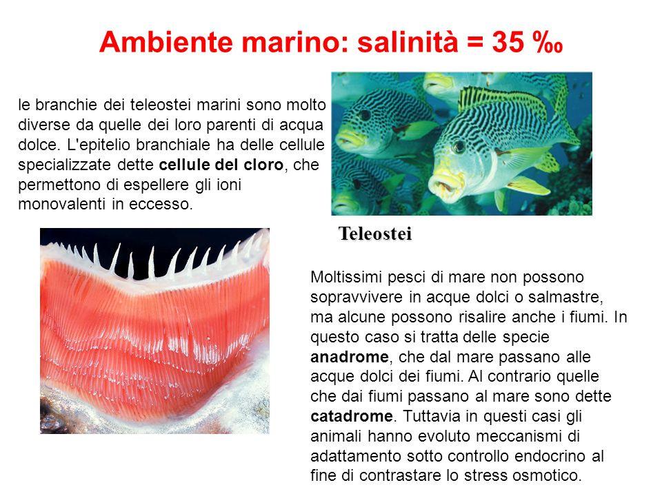Ambiente marino: salinità = 35 Teleostei Moltissimi pesci di mare non possono sopravvivere in acque dolci o salmastre, ma alcune possono risalire anch