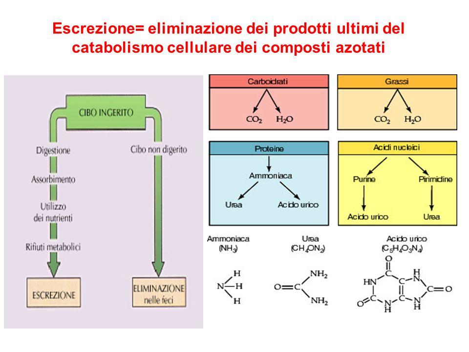 Escrezione= eliminazione dei prodotti ultimi del catabolismo cellulare dei composti azotati