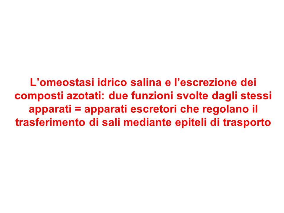 Ambienti dulcicoli: salinità 0,5 Epidermidi poco permeabili Dieta salina Urina ipotonica Epiteli branchiali