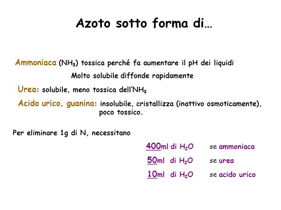 Azoto sotto forma di… Ammoniaca (NH 3 ) tossica perché fa aumentare il pH dei liquidi Molto solubile diffonde rapidamente Urea : solubile, meno tossic