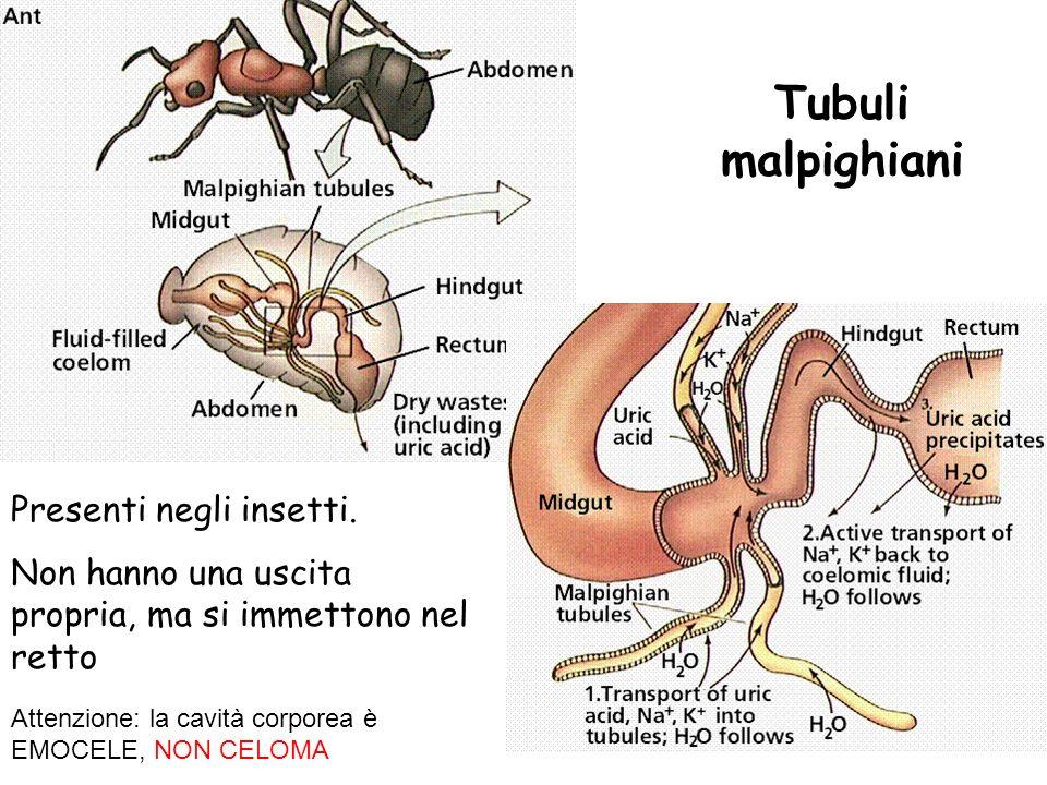 Tubuli malpighiani Presenti negli insetti. Non hanno una uscita propria, ma si immettono nel retto Attenzione: la cavità corporea è EMOCELE, NON CELOM