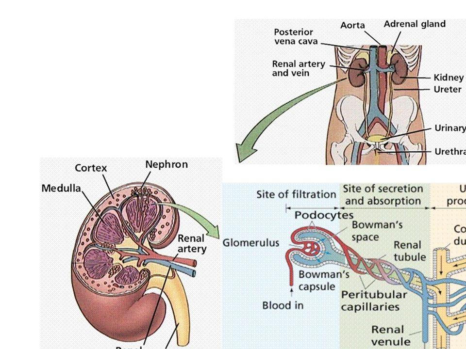 Osmoregolazione ed escrezione nei vertebrati Pronefro: ciclostomi adulti larve di pesci ed anfibi Mesonefro: anfibi e pesci adulti embrioni di rettili