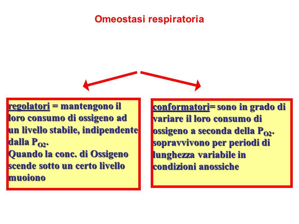 Omeostasi respiratoria regolatori = mantengono il loro consumo di ossigeno ad un livello stabile, indipendente dalla P O2. Quando la conc. di Ossigeno