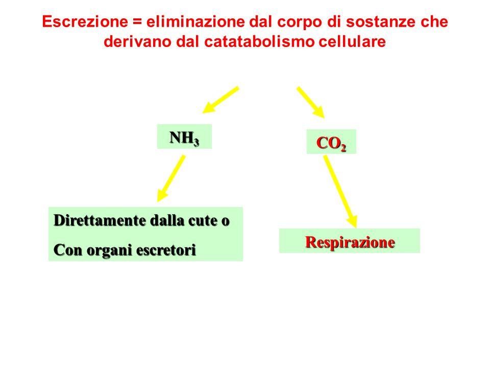 Escrezione = eliminazione dal corpo di sostanze che derivano dal catatabolismo cellulare CO 2 NH 3 Respirazione Direttamente dalla cute o Con organi e