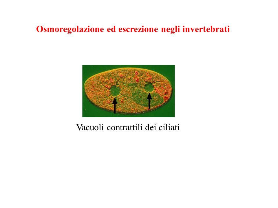 Vacuoli contrattili Anche i protisti regolano acqua e sali Gli organismi unicellulari usano vescicole di espulsione dell acqua (vacuoli contrattili).