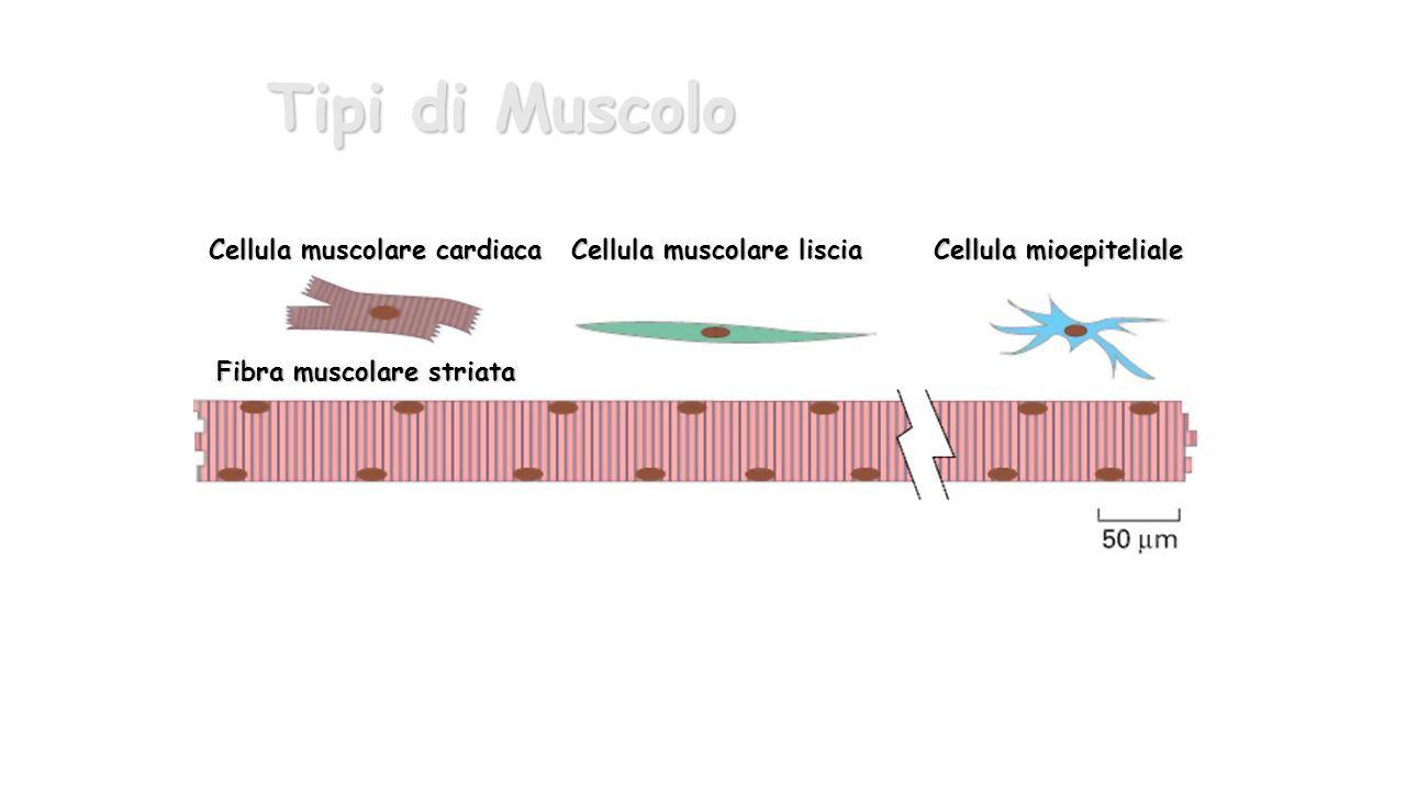 Cellula muscolare cardiaca Cellula muscolare liscia Cellula mioepiteliale Fibra muscolare striata Tipi di Muscolo