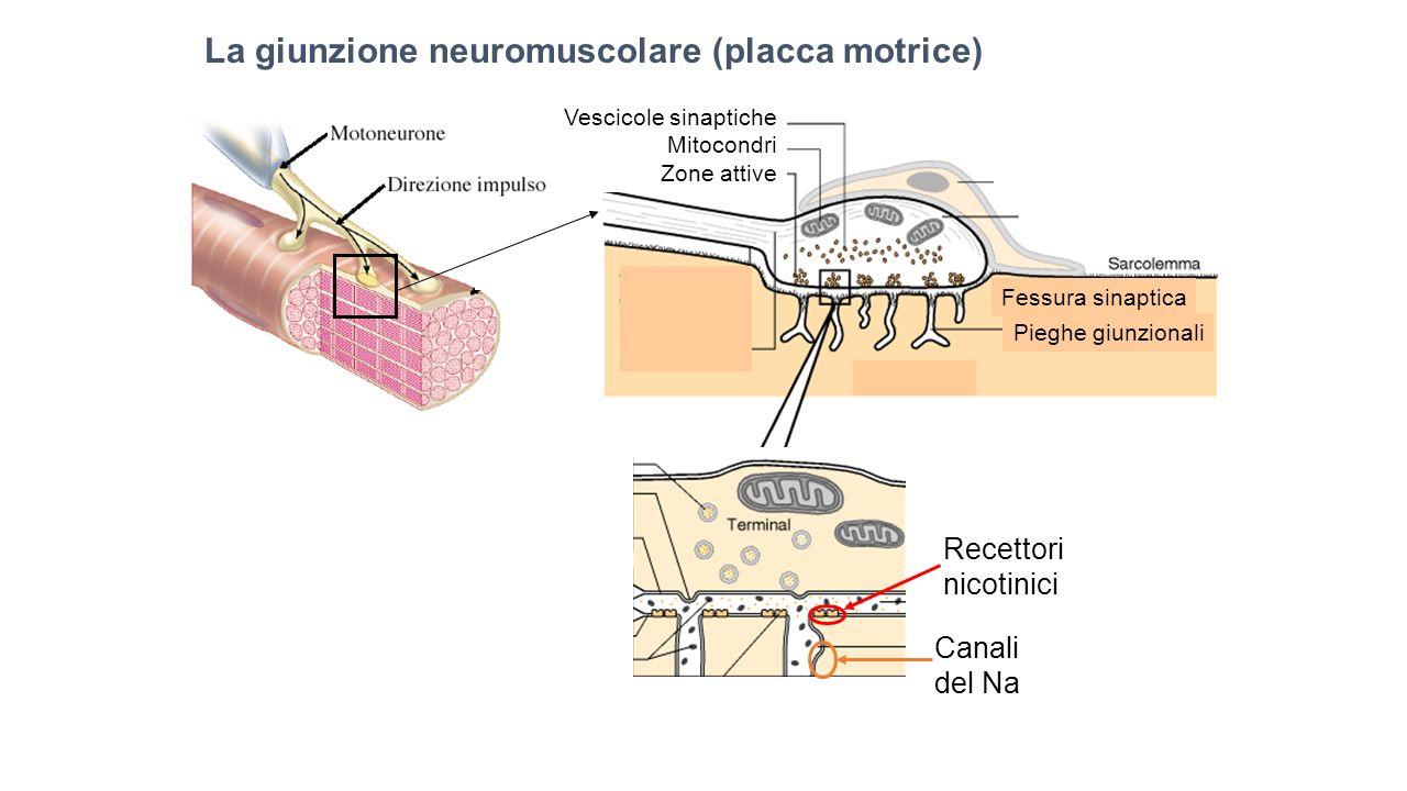 Pieghe giunzionali Fessura sinaptica Vescicole sinaptiche Mitocondri Zone attive La giunzione neuromuscolare (placca motrice) Recettori nicotinici Can