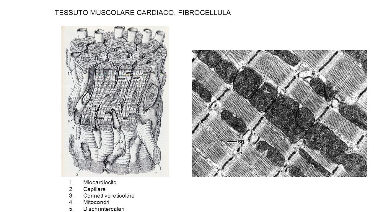 TESSUTO MUSCOLARE CARDIACO, FIBROCELLULA 1.Miocardiocito 2.Capillare 3.Connettivo reticolare 4.Mitocondri 5.Dischi intercalari