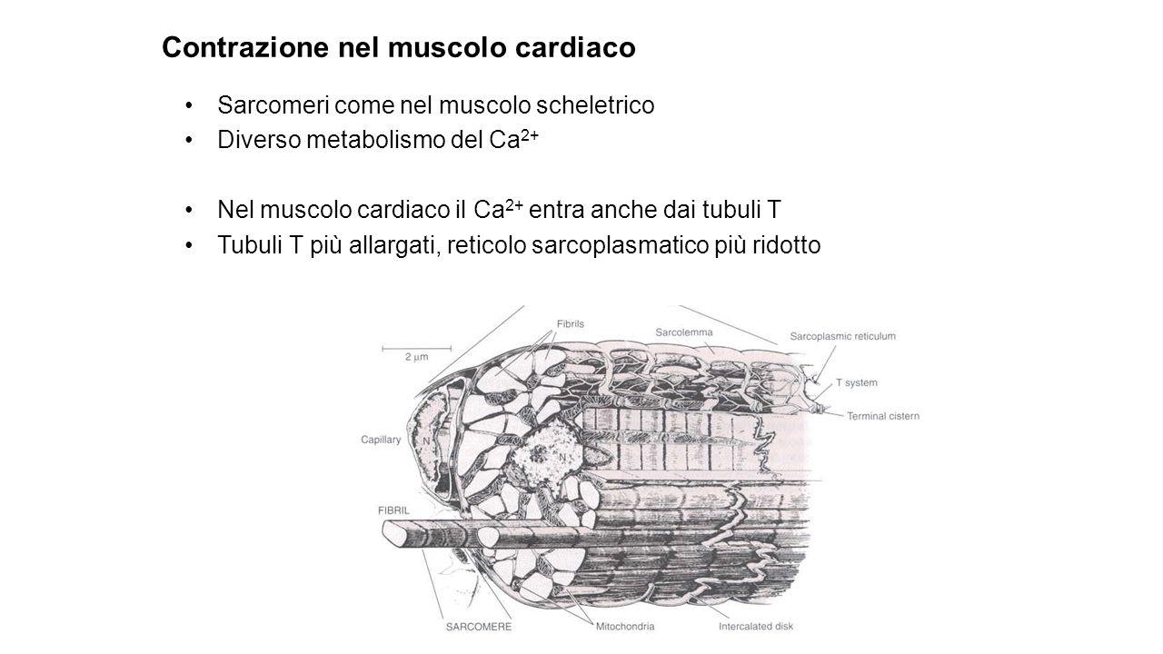 Muscolo Liscio