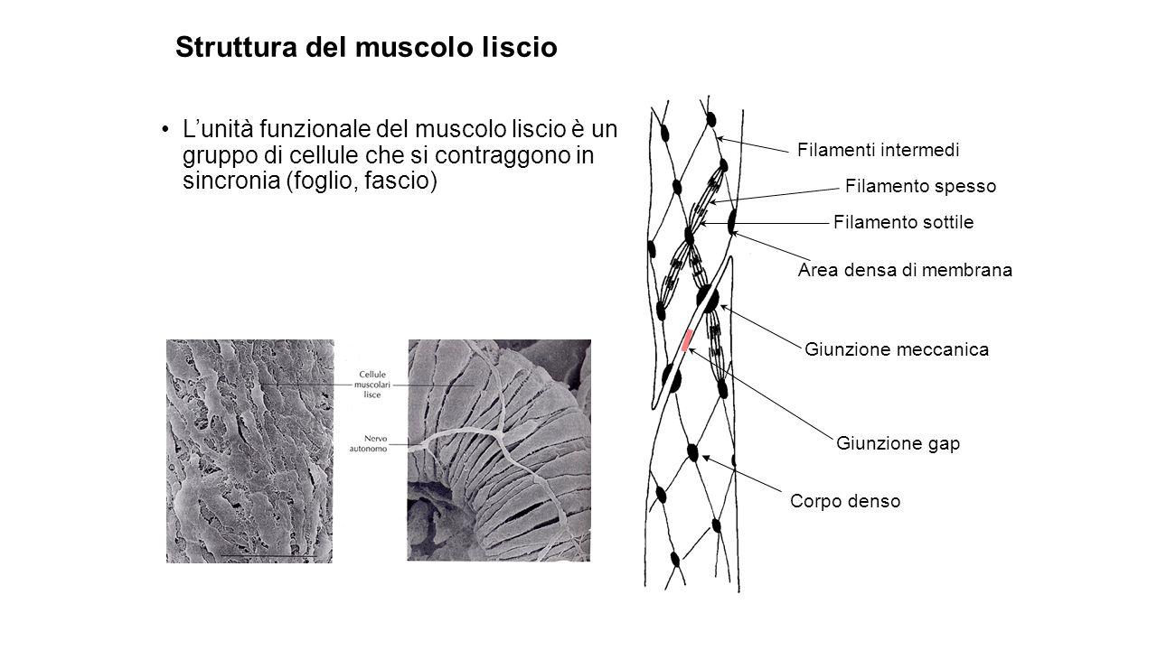 Lunità funzionale del muscolo liscio è un gruppo di cellule che si contraggono in sincronia (foglio, fascio) Filamenti intermedi Filamento spesso Fila