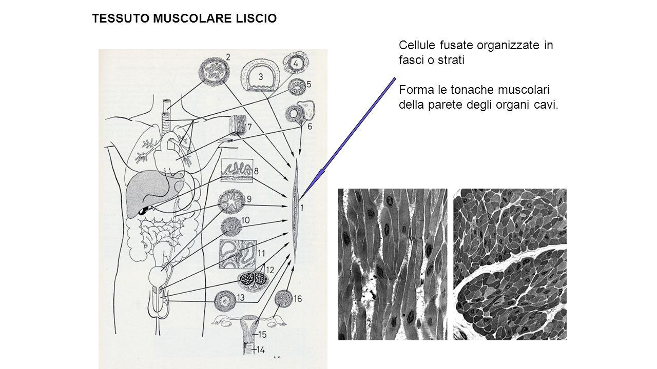 Cellule fusate organizzate in fasci o strati Forma le tonache muscolari della parete degli organi cavi. TESSUTO MUSCOLARE LISCIO