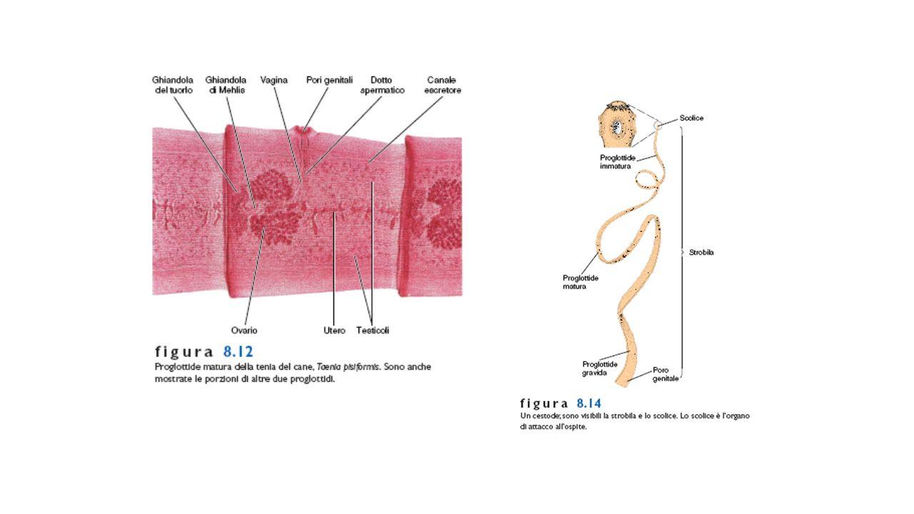 nematode anellide platelminta