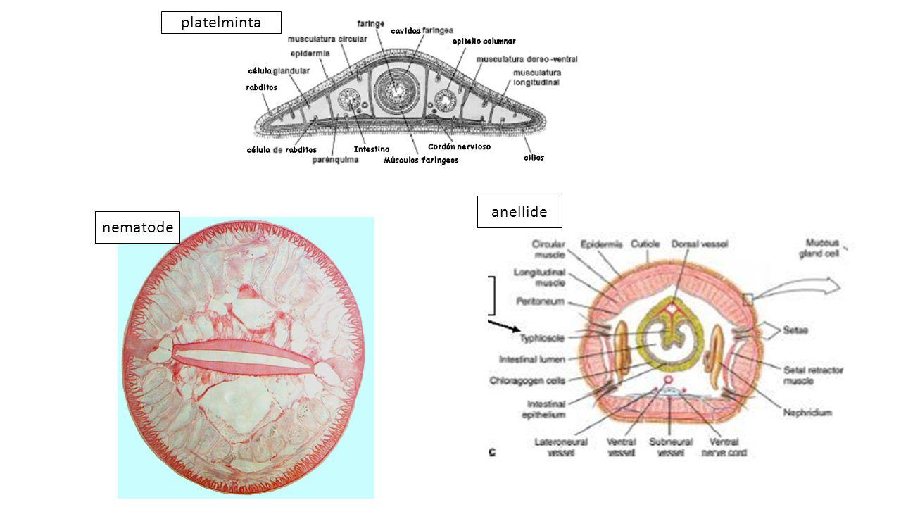 Animali Pseudocelomati nematodi