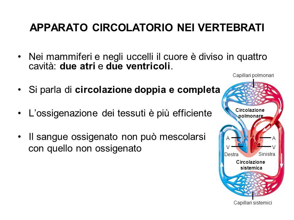 Circolazione polmonare Circolazione sistemica Destra Sinistra AA V Capillari polmonari Capillari sistemici V Nei mammiferi e negli uccelli il cuore è
