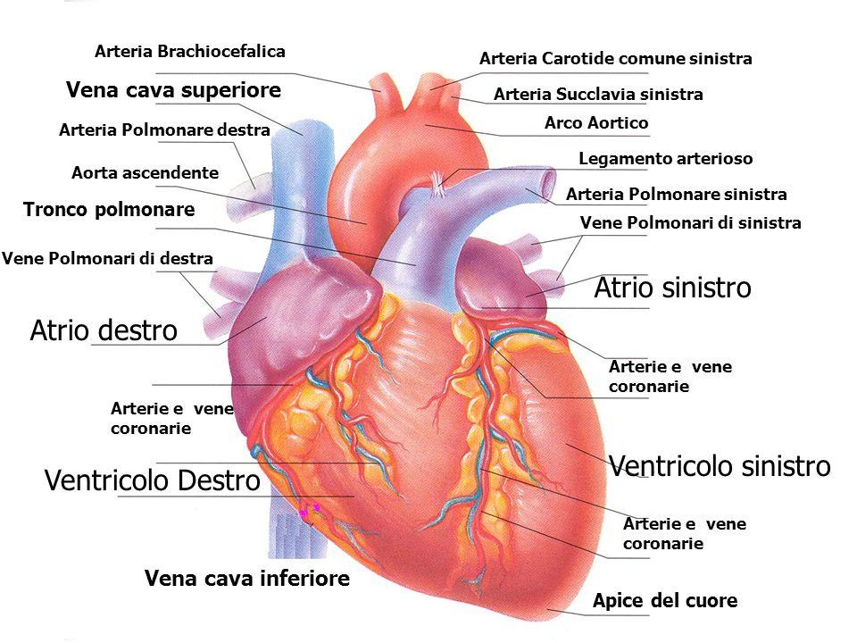Arteria Brachiocefalica Arteria Carotide comune sinistra Arteria Succlavia sinistra Arco Aortico Legamento arterioso Arteria Polmonare sinistra Vene P