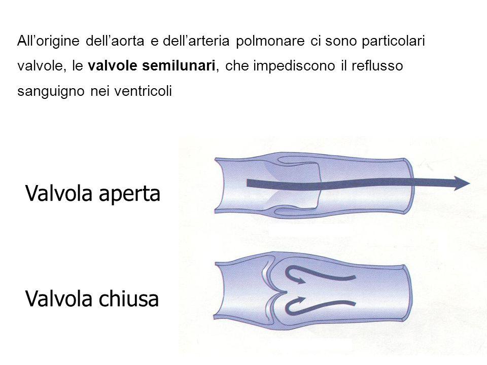 Allorigine dellaorta e dellarteria polmonare ci sono particolari valvole, le valvole semilunari, che impediscono il reflusso sanguigno nei ventricoli