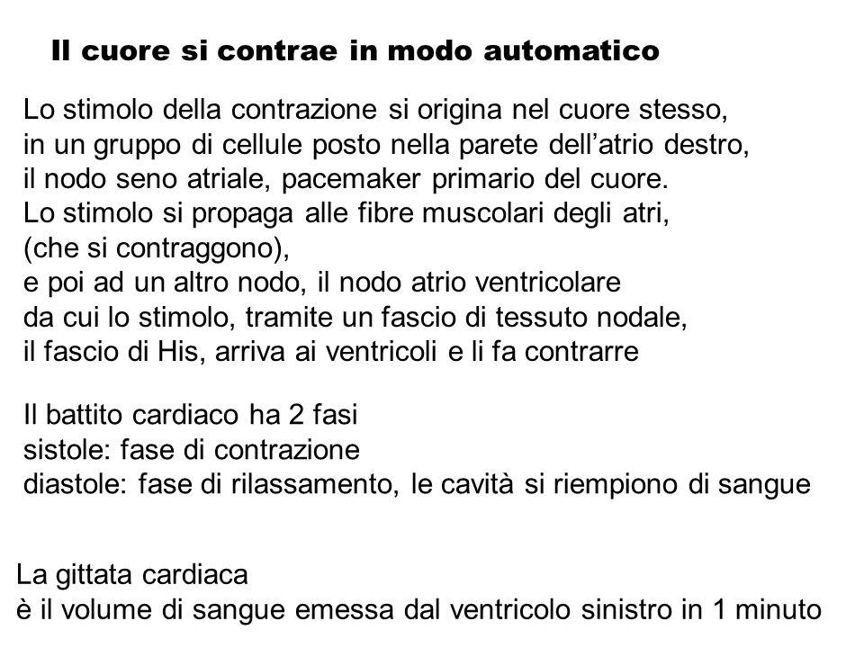 Il cuore si contrae in modo automatico Lo stimolo della contrazione si origina nel cuore stesso, in un gruppo di cellule posto nella parete dellatrio