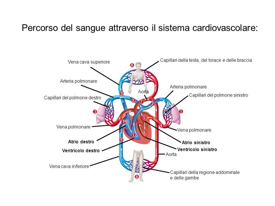 1 7 2 2 5 6 4 4 10 3 3 9 9 8 8 Vena cava superiore Capillari della testa, del torace e delle braccia Arteria polmonare Capillari del polmone sinistro