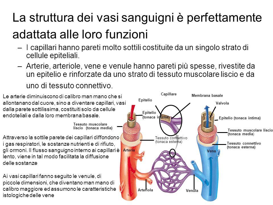 La struttura dei vasi sanguigni è perfettamente adattata alle loro funzioni –I capillari hanno pareti molto sottili costituite da un singolo strato di