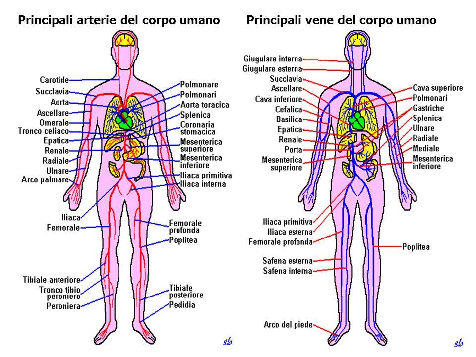 Principali arterie del corpo umano Principali vene del corpo umano