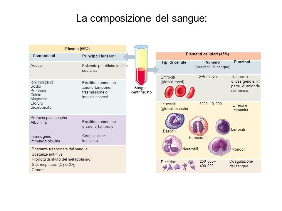 La composizione del sangue: Elementi cellulari (45%) Tipi di cellule Numero (per mm 3 di sangue) Funzioni Eritrociti (globuli rossi) 5–6 milioni Trasp