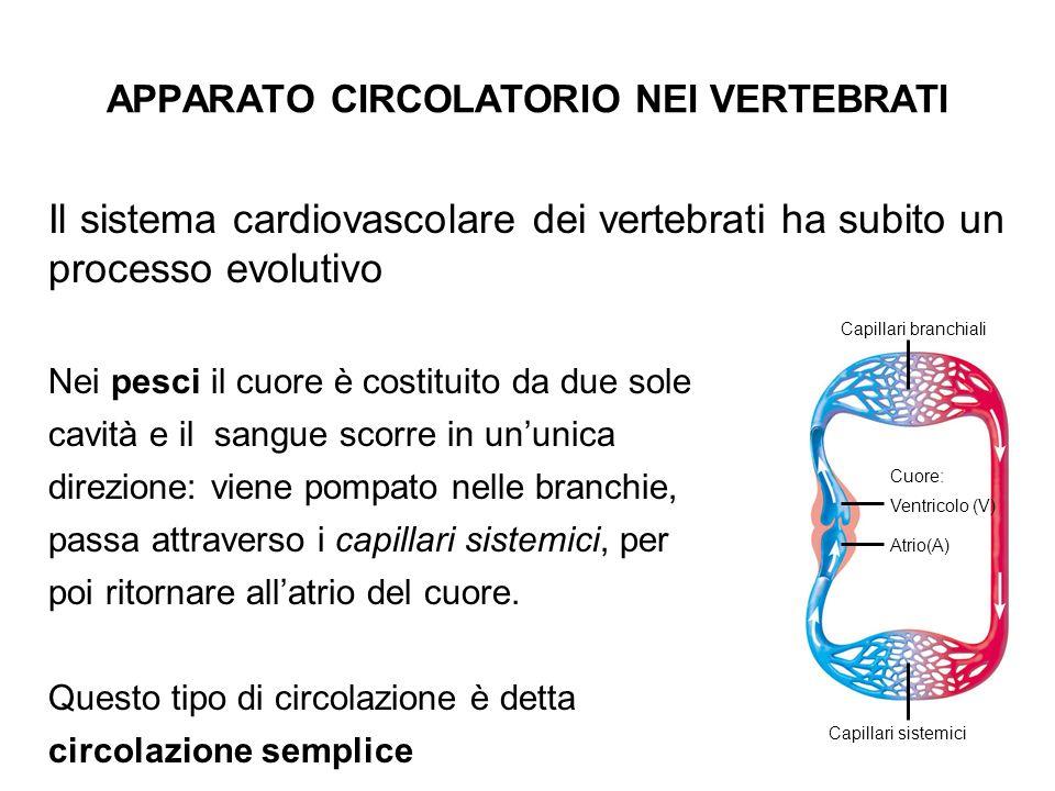 Il sistema cardiovascolare dei vertebrati ha subito un processo evolutivo Nei pesci il cuore è costituito da due sole cavità e il sangue scorre in unu