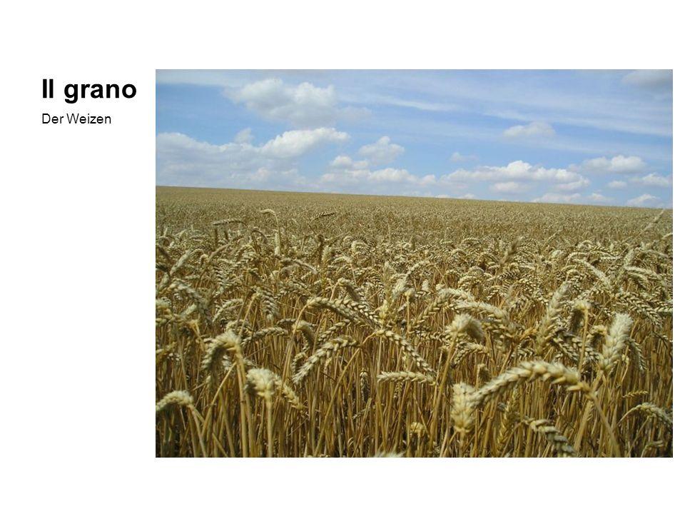 Il grano Der Weizen
