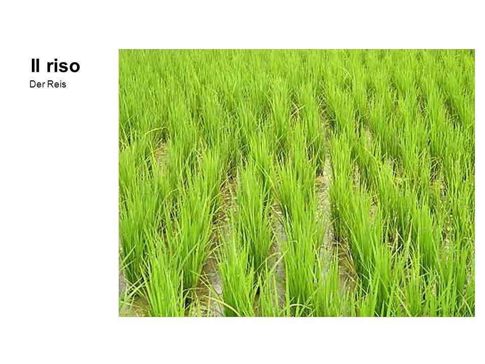 Il riso Der Reis