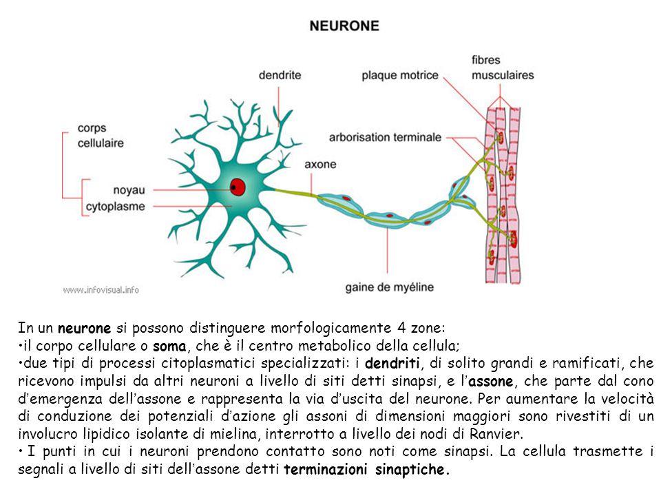 In un neurone si possono distinguere morfologicamente 4 zone: il corpo cellulare o soma, che è il centro metabolico della cellula; due tipi di process