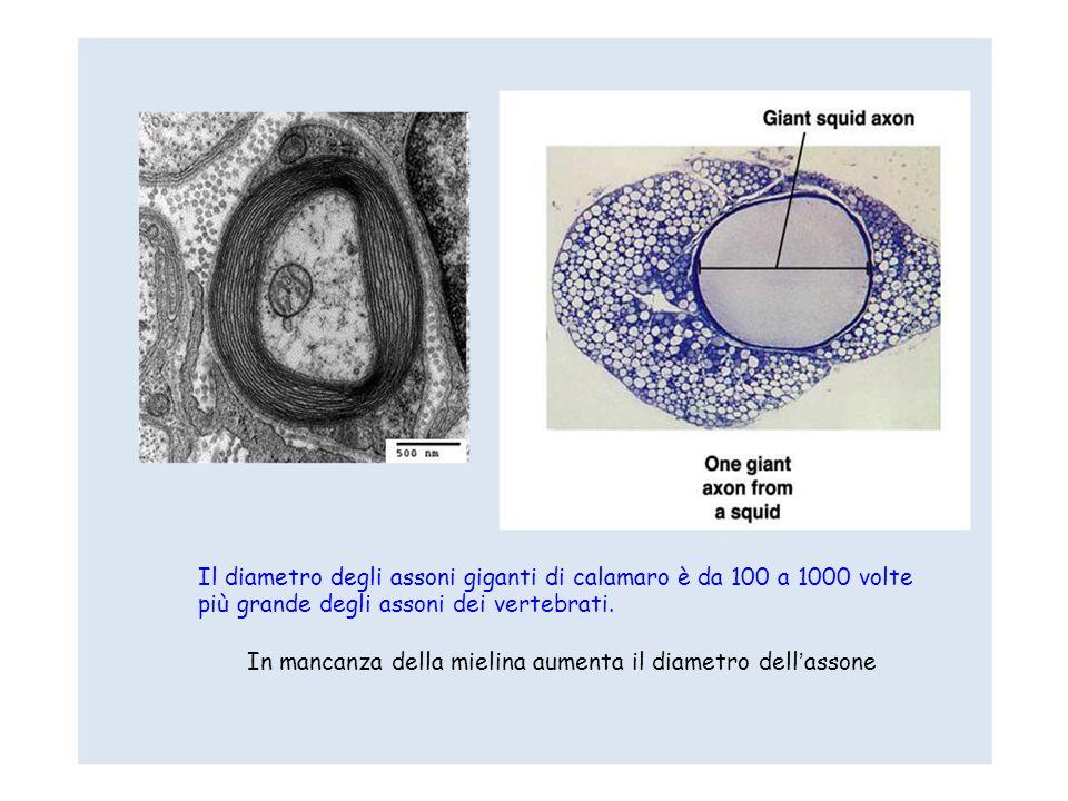 Il diametro degli assoni giganti di calamaro è da 100 a 1000 volte più grande degli assoni dei vertebrati. In mancanza della mielina aumenta il diamet