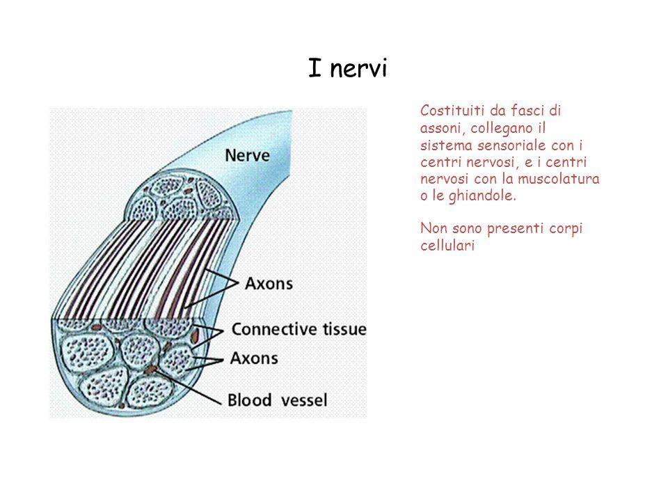I nervi Costituiti da fasci di assoni, collegano il sistema sensoriale con i centri nervosi, e i centri nervosi con la muscolatura o le ghiandole. Non