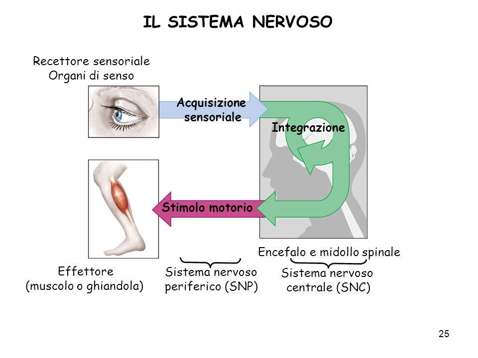 25 IL SISTEMA NERVOSO Acquisizione sensoriale Recettore sensoriale Organi di senso Effettore (muscolo o ghiandola) Stimolo motorio Integrazione Sistem