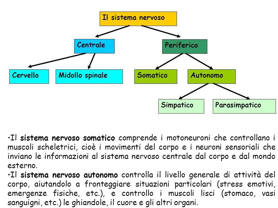 Il sistema nervoso Centrale Periferico CervelloMidollo spinaleSomaticoAutonomo SimpaticoParasimpatico Il sistema nervoso somatico comprende i motoneur
