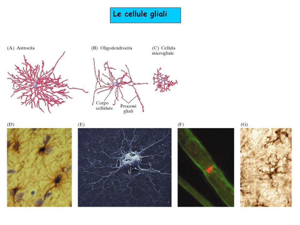 Le cellule gliali