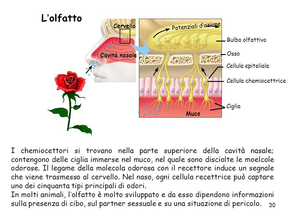 30 Lolfatto I chemiocettori si trovano nella parte superiore della cavità nasale; contengono delle ciglia immerse nel muco, nel quale sono disciolte l