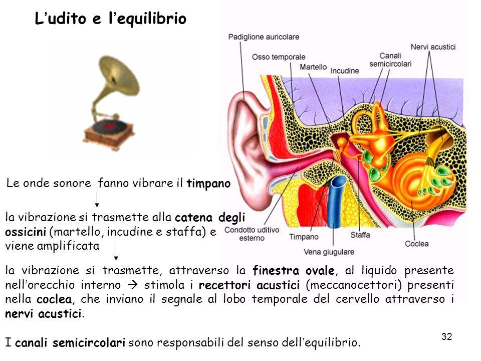 32 Ludito e lequilibrio la vibrazione si trasmette, attraverso la finestra ovale, al liquido presente nellorecchio interno stimola i recettori acustic