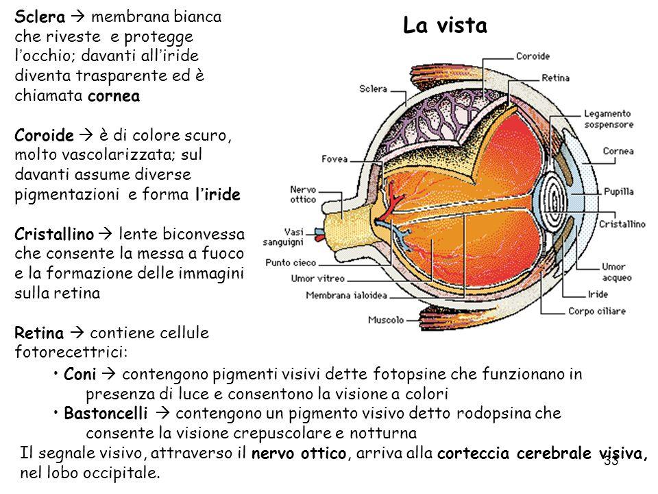 33 La vista Sclera membrana bianca che riveste e protegge locchio; davanti alliride diventa trasparente ed è chiamata cornea Coroide è di colore scuro