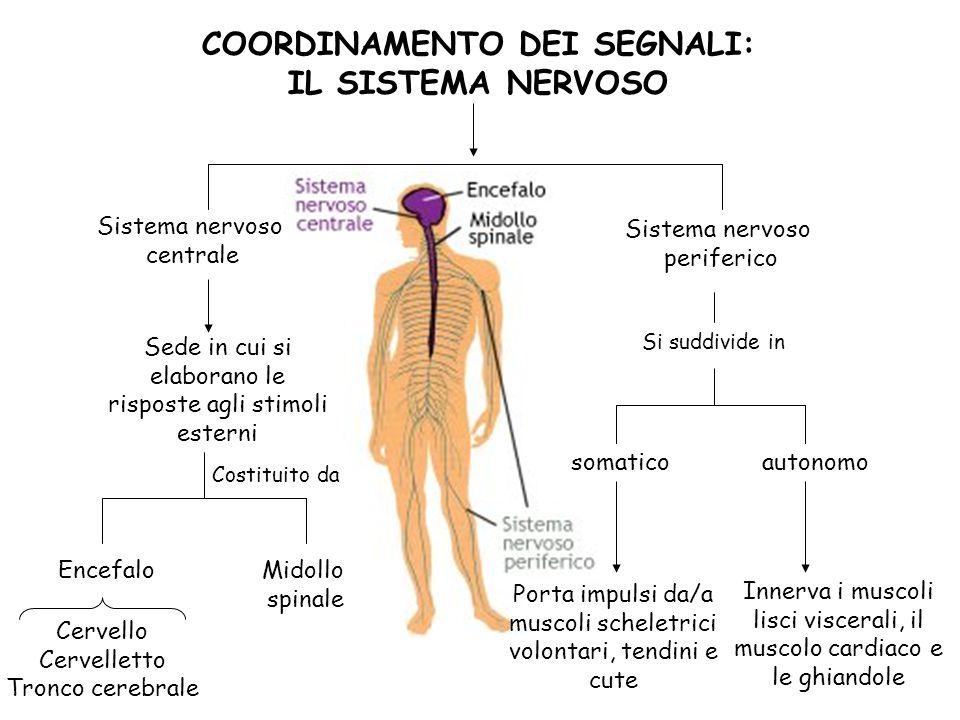 Sistema nervoso centrale Sistema nervoso periferico Costituito da Encefalo Midollo spinale Si suddivide in autonomo Porta impulsi da/a muscoli schelet