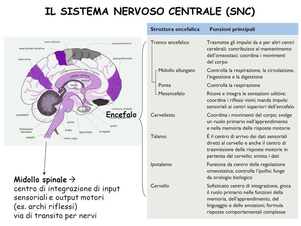 36 IL SISTEMA NERVOSO CENTRALE (SNC) Encefalo Midollo spinale centro di integrazione di input sensoriali e output motori (es. archi riflessi) via di t