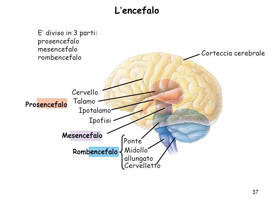 37 Lencefalo Prosencefalo Mesencefalo Rombencefalo Cervello Talamo Ipotalamo Ipofisi Ponte Midollo allungato Cervelletto Corteccia cerebrale E diviso