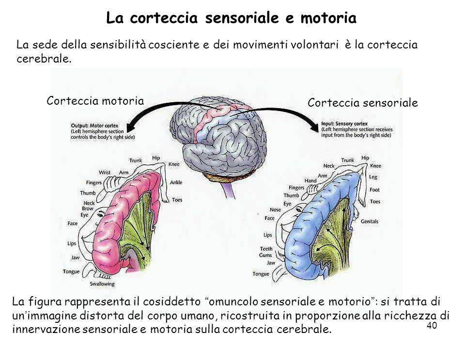 40 La corteccia sensoriale e motoria La sede della sensibilità cosciente e dei movimenti volontari è la corteccia cerebrale. Corteccia motoria Cortecc
