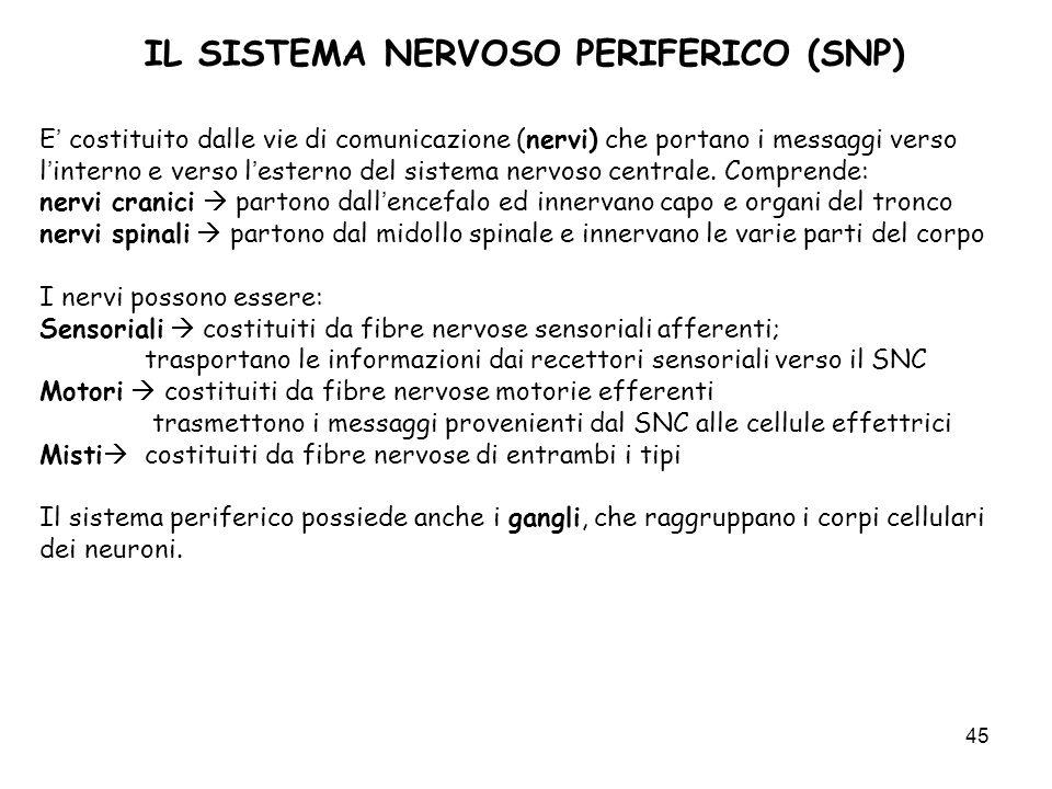 45 IL SISTEMA NERVOSO PERIFERICO (SNP) E costituito dalle vie di comunicazione (nervi) che portano i messaggi verso linterno e verso lesterno del sist