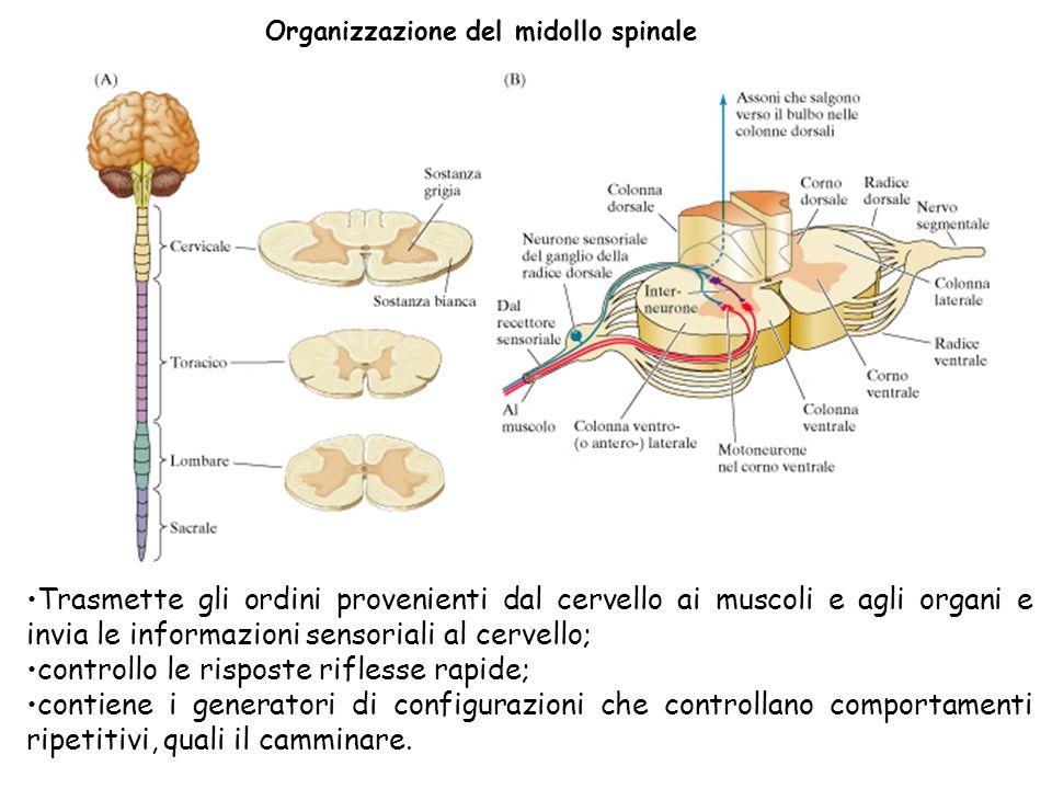 Organizzazione del midollo spinale Trasmette gli ordini provenienti dal cervello ai muscoli e agli organi e invia le informazioni sensoriali al cervel