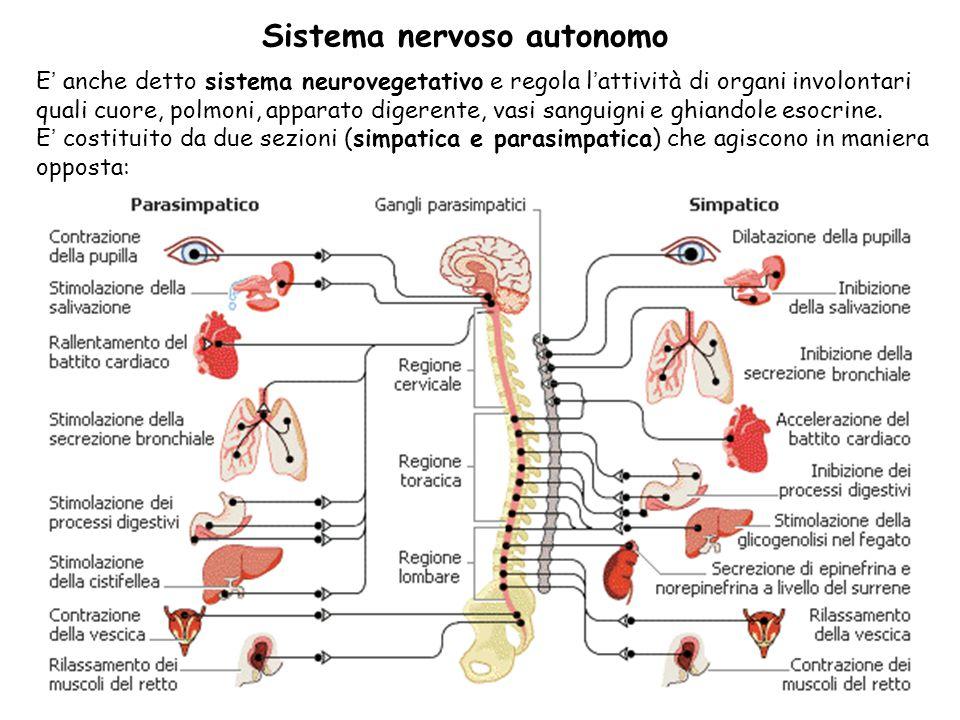 48 E anche detto sistema neurovegetativo e regola lattività di organi involontari quali cuore, polmoni, apparato digerente, vasi sanguigni e ghiandole