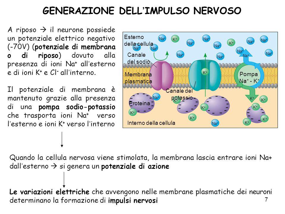 7 GENERAZIONE DELLIMPULSO NERVOSO A riposo il neurone possiede un potenziale elettrico negativo (-70V) (potenziale di membrana o di riposo) dovuto all