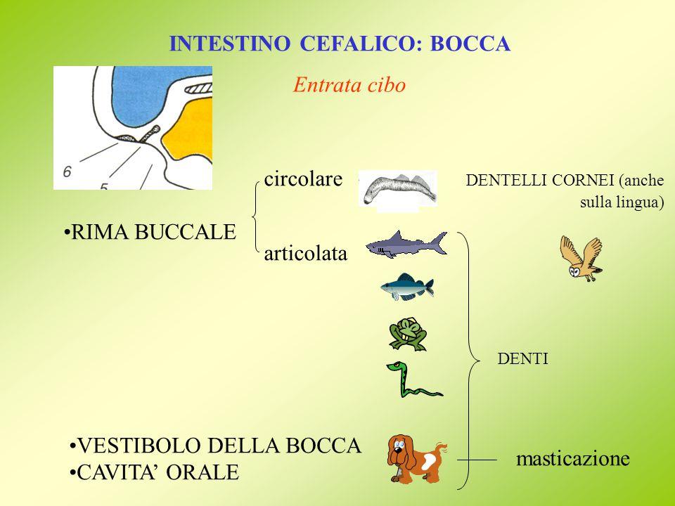 INTESTINO CEFALICO: BOCCA RIMA BUCCALE circolare DENTELLI CORNEI (anche sulla lingua) articolata VESTIBOLO DELLA BOCCA CAVITA ORALE DENTI masticazione
