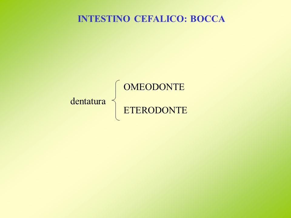 INTESTINO CEFALICO: BOCCA dentatura OMEODONTE ETERODONTE