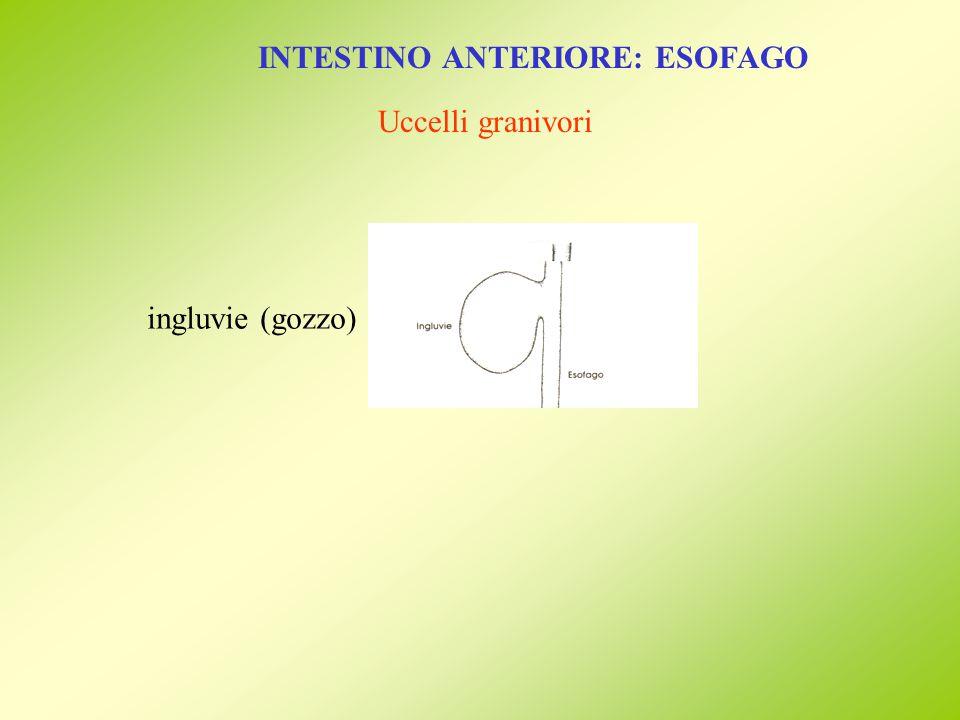 INTESTINO ANTERIORE: ESOFAGO Uccelli granivori ingluvie (gozzo)